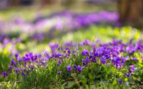 Papéis de Parede Algumas flores roxas, folhas verdes, nebulosa, primavera