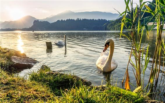 Обои Две белые лебедь, озеро, трава, восход солнца