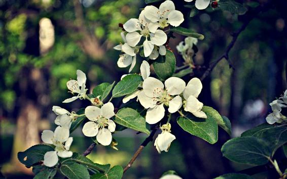 Обои Белые яблочные цветы, веточки, листья, весна