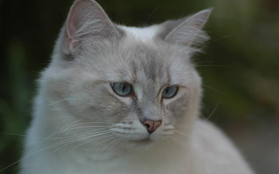 Wallpaper White cat, look, face, eyes, ears, hazy