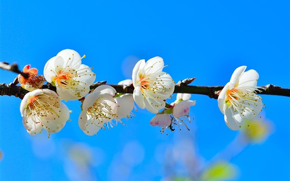 Обои Белые цветы, синий фон, весна