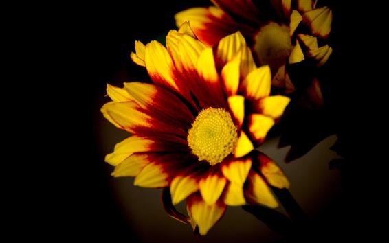Обои Желтые или оранжевые цветы, лепестки, черный фон