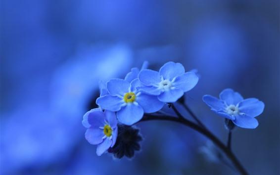 Fondos de pantalla Fotografía macro de flores azules, me olviden-no
