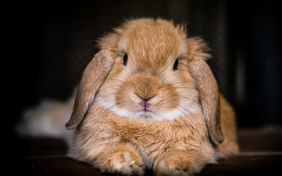 Fondos de pantalla Fotografía macro de conejo lindo, cara, nariz, ojos, orejas