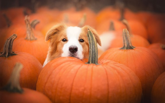 Wallpaper Dog, face, many pumpkins