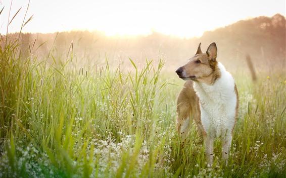 Обои Собака, взгляд, полевые цветы, трава, лето