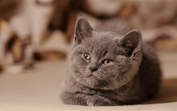 Wallpaper Gray kitten, look, face, cute pet