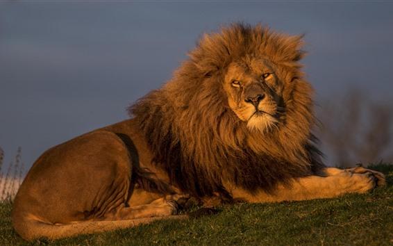 Fond d'écran Lion, repos, roi des bêtes