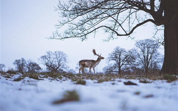 Wallpaper Lonely deer, winter, snow, trees