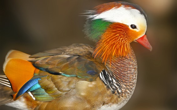 Wallpaper Mandarin duck, colorful feathers, head, bird