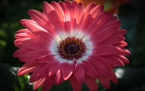 Hintergrundbilder Rosa Gerbera Nahaufnahme, Blütenblätter, Pistil