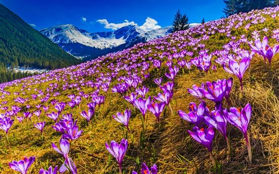 Hintergrundbilder Lila Krokusse, Blumen, Berge, Schnee, Frühling