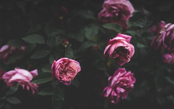 배경 화면 일부 핑크 장미, 꽃, 잎, 흐린