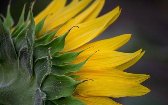 Обои Вид сзади подсолнуха, желтые лепестки