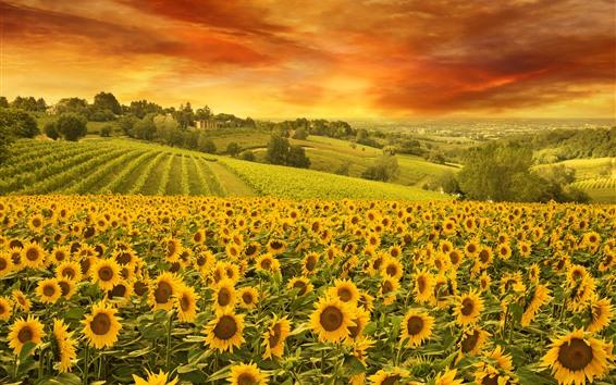 Обои Подсолнухи, поле, деревья, облака, природа