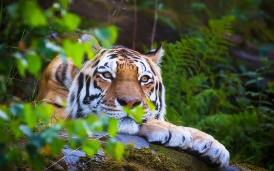 Обои Тигр, отдых, лицо, глаза, зеленые листья