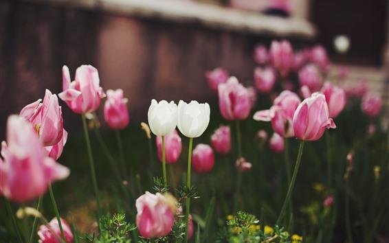 壁紙 白とピンクのチューリップの花、庭