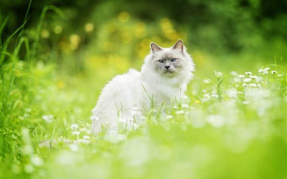 Обои Белый кот, оглядываясь назад, полевые цветы, зеленая трава