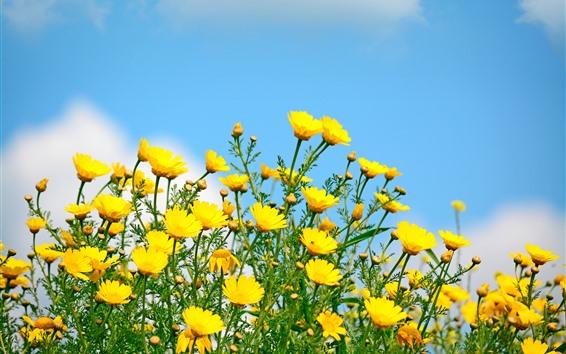 Обои Желтые цветы, полевые цветы, голубое небо, весна