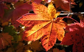 Preview wallpaper A red leaves in autumn