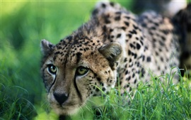 Preview wallpaper Cheetah Ready to attack
