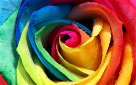 Colorful roses close up