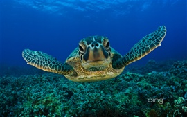 Preview wallpaper Green Sea Turtle