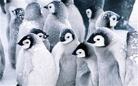 Preview wallpaper Mutual heating of the penguins in snow