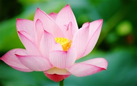 Preview wallpaper Pink lotus close up