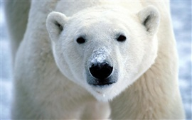 Urso polar close-up