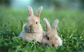 Preview wallpaper Rabbit on the grass