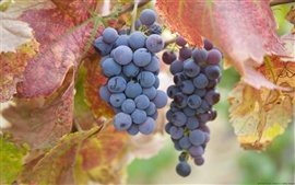 Preview wallpaper Ripe purple grapes