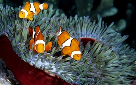Three orange tropical fish and coral