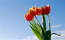 Preview wallpaper Tulip under the blue sky