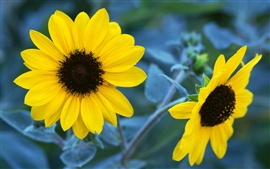 Two sunflower