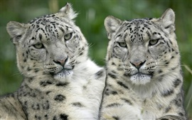 Two white tiger