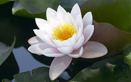 Preview wallpaper White Lotus
