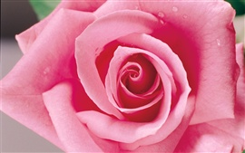 Preview wallpaper A pink rose