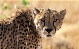 Preview wallpaper Cheetah