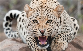 Preview wallpaper Ferocious snow leopard