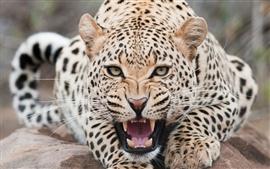 미리보기 배경 화면 사나운 스노우 레오파드 (Snow Leopard)
