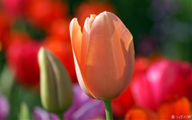Preview wallpaper Orange Tulip