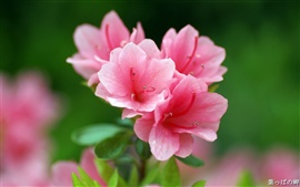 Preview wallpaper Pink azalea flowers