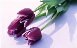 壁紙のプレビュー 紫色のチューリップ