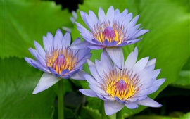 Preview wallpaper Three Blue Lotus