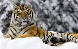Preview wallpaper Tiger in Winter