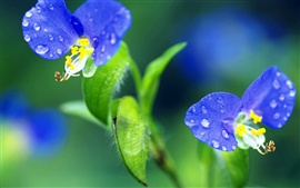 Dos flores de color azul