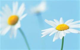Preview wallpaper Two white flowers