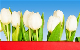 Preview wallpaper White tulip