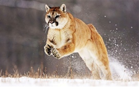 Preview wallpaper Cougar beautiful snow jump